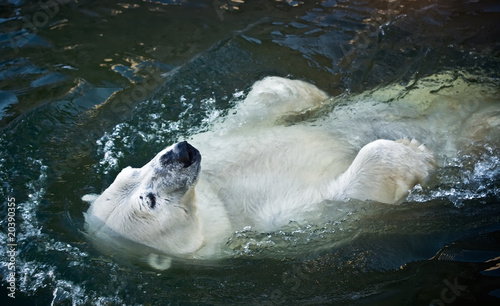 In de dag Ijsbeer Polar bear in the zoo