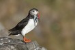 Atlantic Puffin on rock with fish in beak, Runde island, Norway