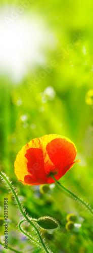 une fleur de coquelicot dans un champ avec le soleil en fond