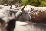 Herd of nguni cattle