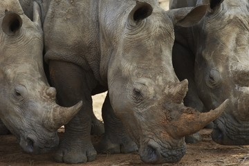 Three Rhinoceros nose the ground