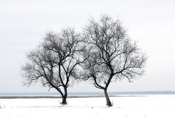 two tree on winter field
