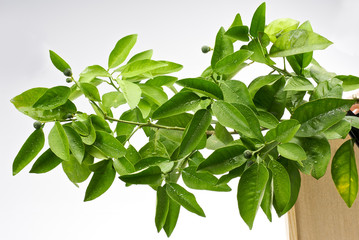 Green Citrus Orange Tree Leave