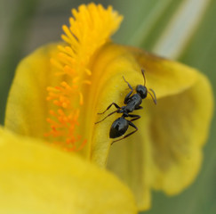 Ant on a petal of an iris