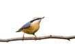 red-breasted nuthatch perched on a branch in search of food
