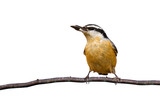 red-breasted nuthatch holds a sunflower seed while perched on a
