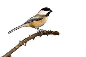 black-capped chickadee perched on a branch prepares for flight