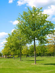young green trees  in park