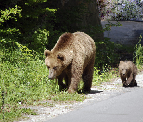 Mother and baby bear looking for food
