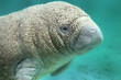 BABY Manatee sea cow