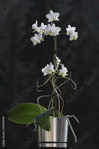 Orchidée en pot