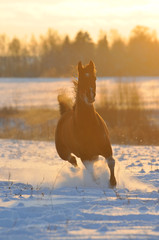 gold bay horse in winter