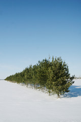 Fir in a row