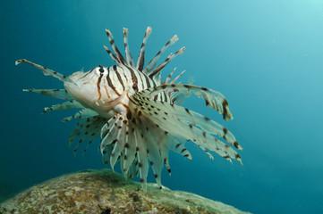 Lion fish Pterois, Parapterois, Brachypterois, Ebosia