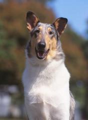 Portrait d'un chien colley poil ras