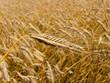 Getreide Feld mit Gersten Ähre