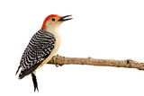 profile of red-bellied woodpecker with beak open poster