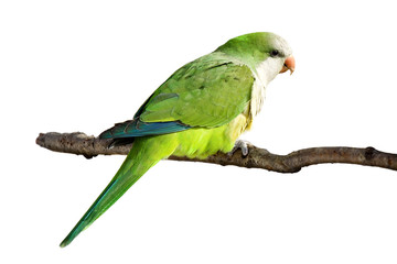 profile of a monk parrot at rest