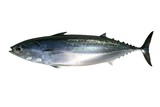 Auxis thazard saltwater frigate tuna fish poster