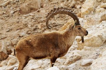 wild ram(nubian ibexes)