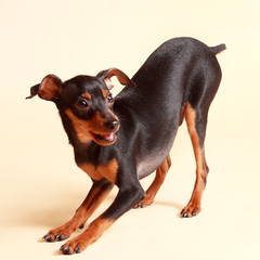 cute pinscher dog