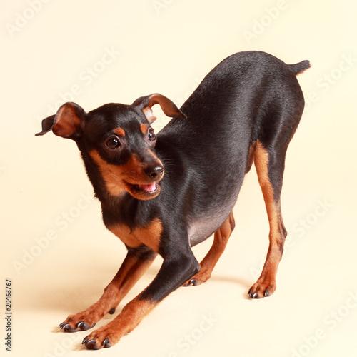 cute pinscher dog