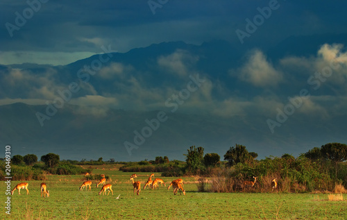 Herd of antelopes in african savanna, Uganda