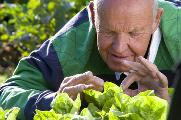 Man inspecting lettuce in garden