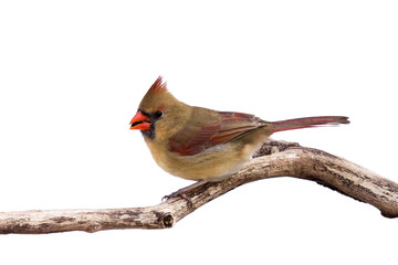 portrait of female cardinal preparing for takeoff