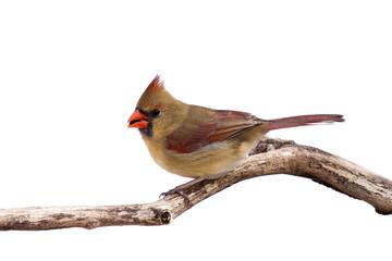portrait of female cardinal preparing for takeoff