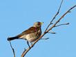Grive litorne - Fieldfare (turdus pilaris)