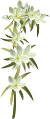 fleur_scleranthus