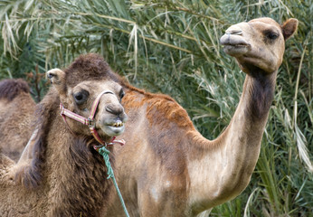 Closeup of Two Camels Head and Shoulders