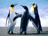 Fototapeta morze - natura - Pingwiny