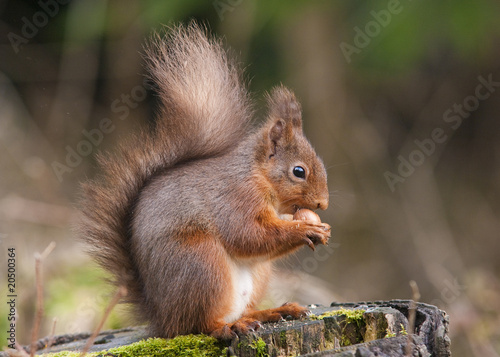Aluminium Eekhoorn Red Squirrel eating a Hazelnut