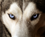 Fototapety Close view of blue eyes of an Husky or Eskimo dog.