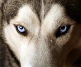 Zamknij widok niebieskich oczu psa Husky lub Eskimo.