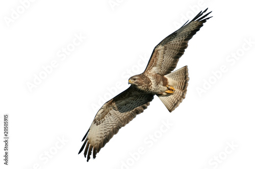 Spoed canvasdoek 2cm dik Eagle Mäusebussard fliegend