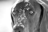 intense eyes blue weimaraner dog poster