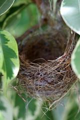 nid de zosterops borbonicus, oiseau de l'île de la Réunion