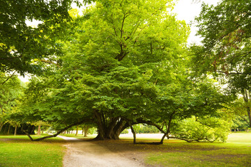 Centenary linden from Cheverny Chateau gardens. France