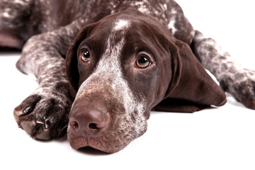 German short-haired pointer  - sad hunter dog