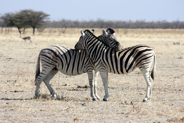 The rest of zebras, Namibia, Etosha Park