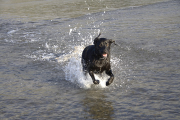 Black Labrador Running Through Water