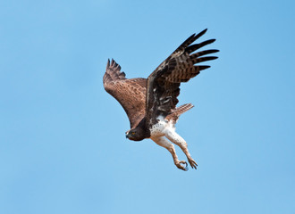 Martial Eagle swooping down to catch prey