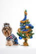 Cute Yorkshire terrier near Christmas tree