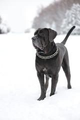 portrait of the dog Neapolitan Mastiff