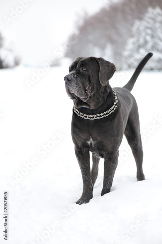 portrait of the dog Neapolitan Mastiff