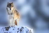 Fototapeta śnieg - zima - Dziki Ssak