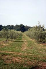 campo coltivato ad ulivi